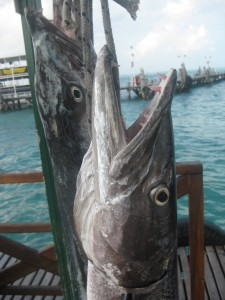 Barracudas recién pescadas en Playa Tortugas, Cancun