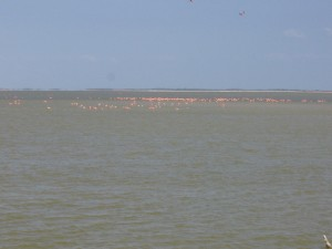 You can find large groups of pink flamingos here too!