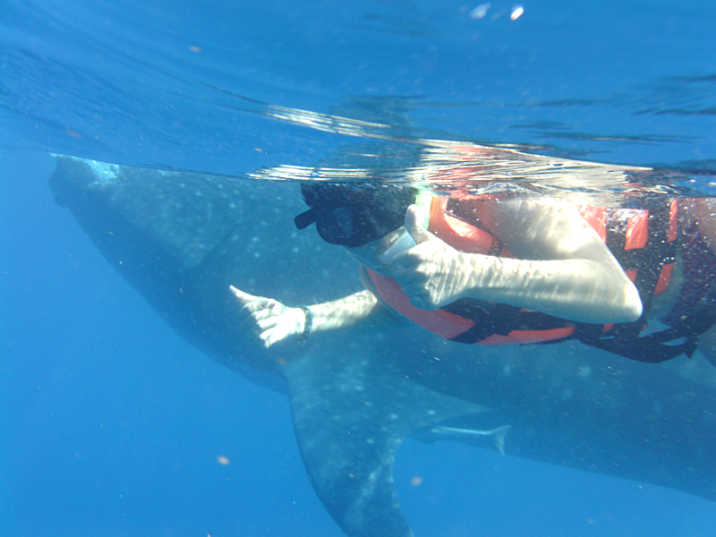whale sharks cancun